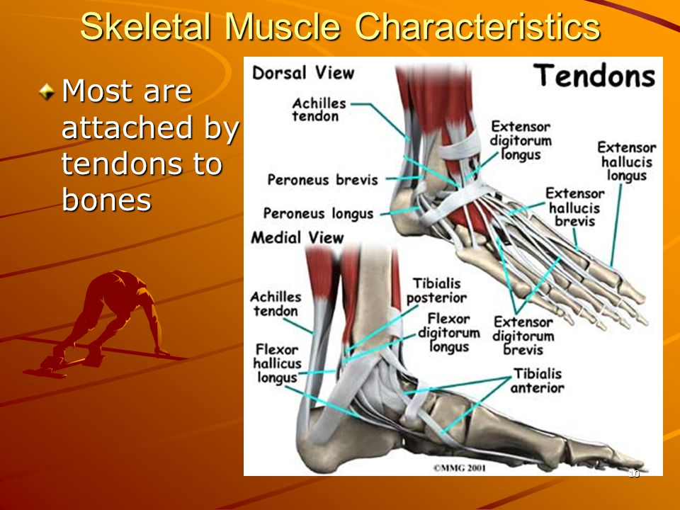 Skeletal Muscle Characteristics Most are attached by tendons to bones 10
