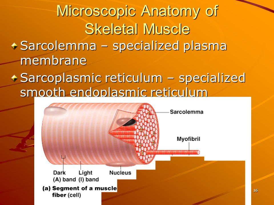 Microscopic Anatomy of Skeletal Muscle Sarcolemma – specialized plasma membrane Sarcoplasmic reticulum – specialized smooth endoplasmic reticulum 16