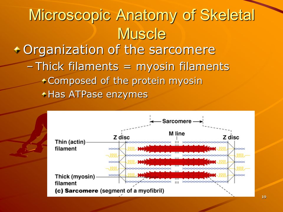 Microscopic Anatomy of Skeletal Muscle Organization of the sarcomere –Thick filaments = myosin filaments Composed of the protein myosin Has ATPase enz