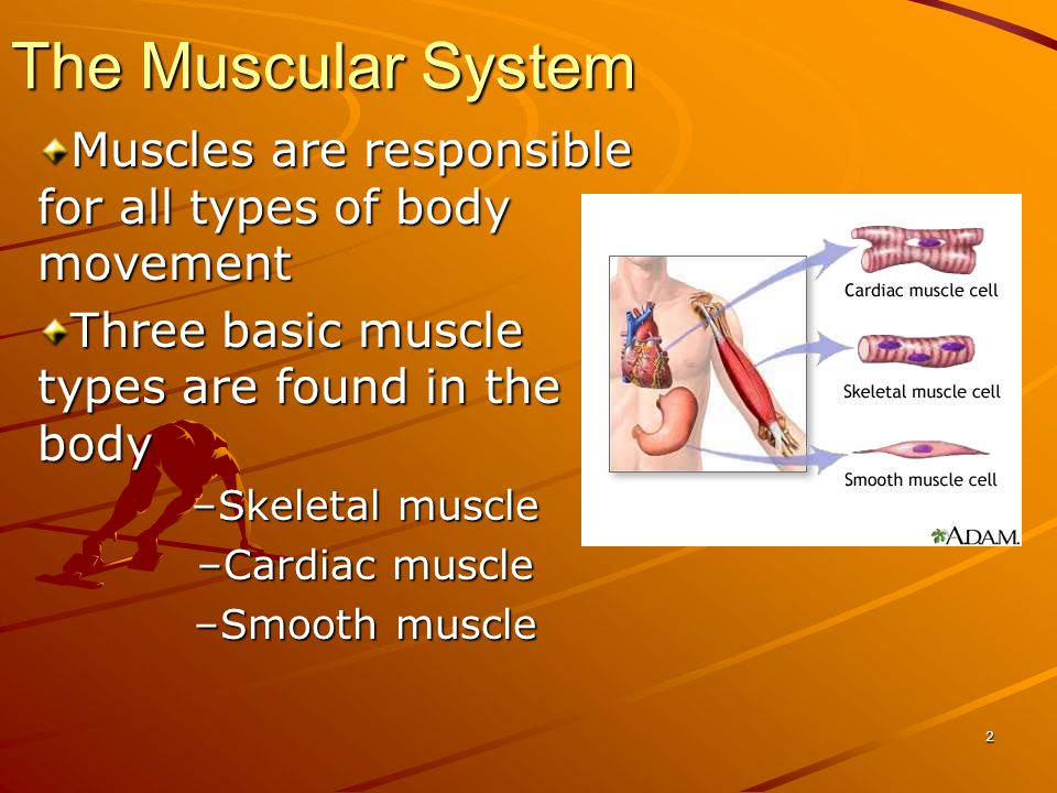 Muscles are responsible for all types of body movement Three basic muscle types are found in the body –Skeletal muscle –Cardiac muscle –Smooth muscle