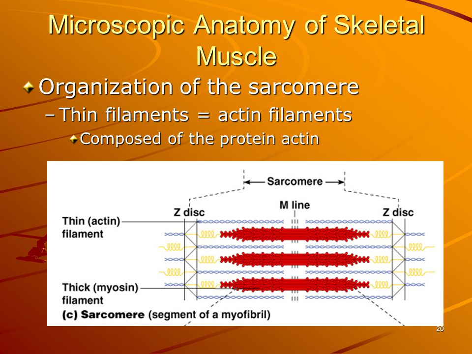 Microscopic Anatomy of Skeletal Muscle Organization of the sarcomere –Thin filaments = actin filaments Composed of the protein actin 20