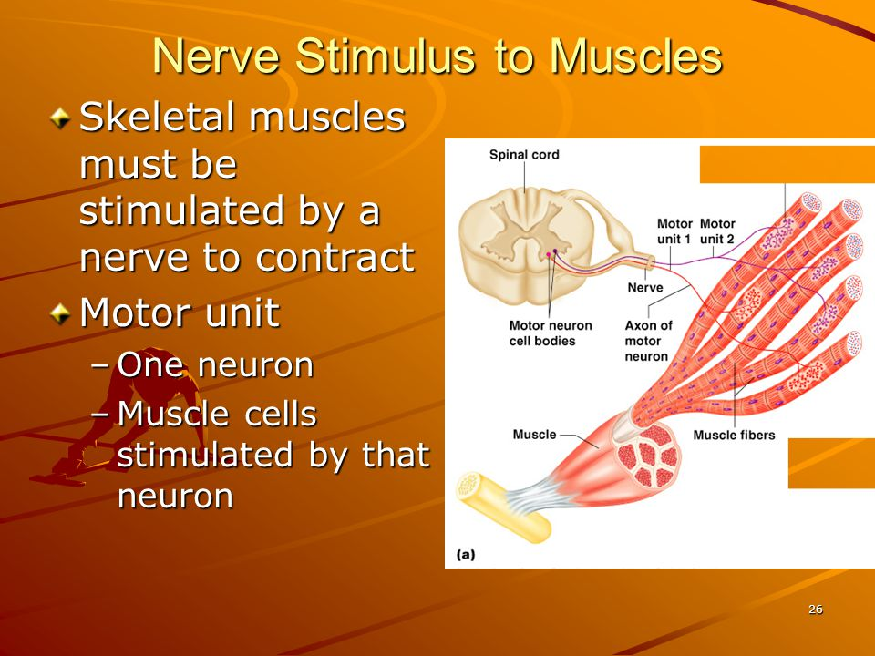 Nerve Stimulus to Muscles Skeletal muscles must be stimulated by a nerve to contract Motor unit –One neuron –Muscle cells stimulated by that neuron 26
