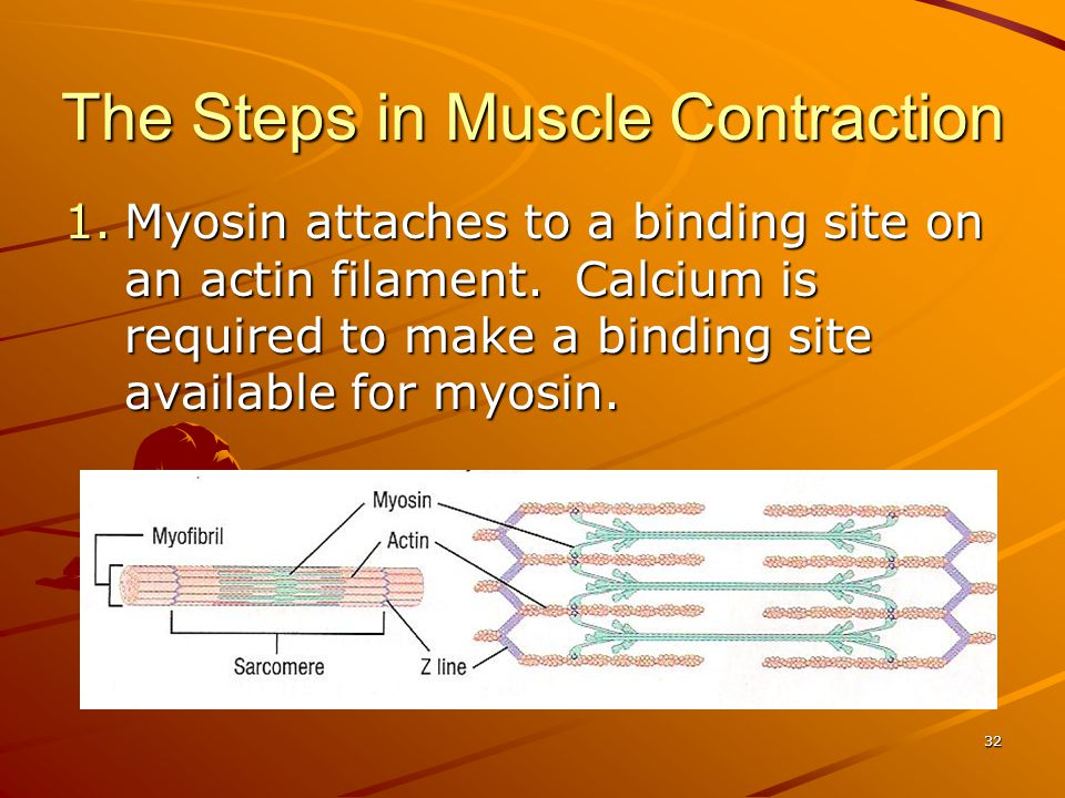 1.Myosin attaches to a binding site on an actin filament. Calcium is required to make a binding site available for myosin. The Steps in Muscle Contrac