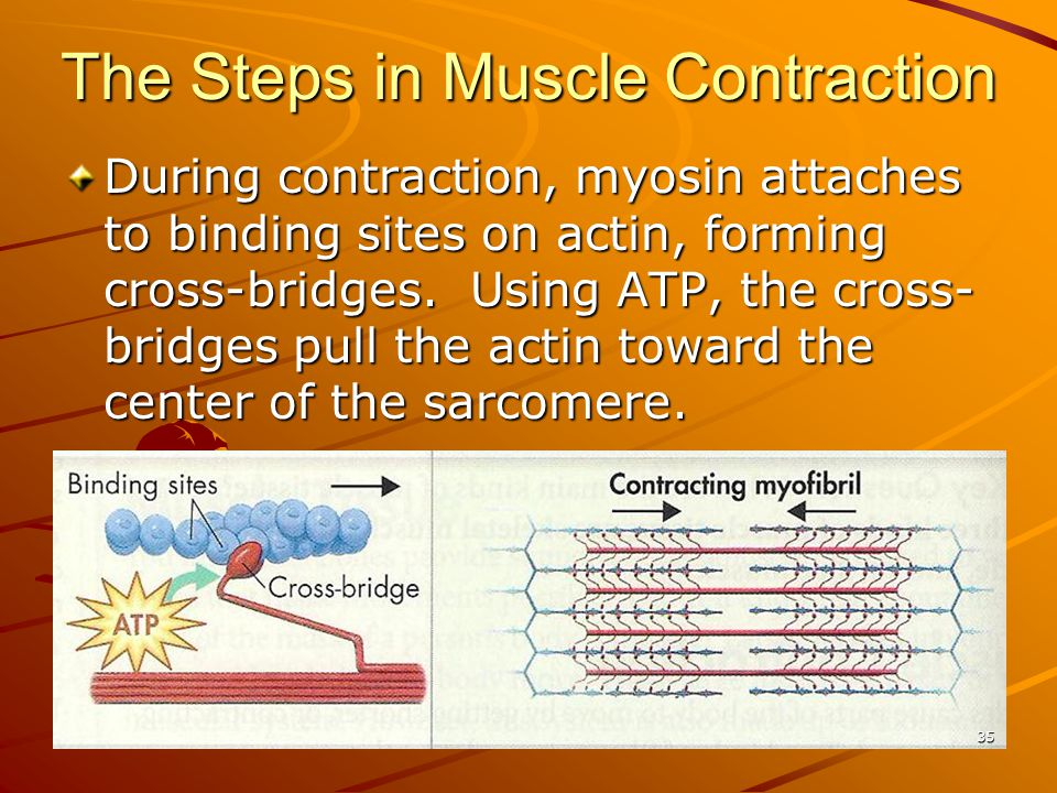 During contraction, myosin attaches to binding sites on actin, forming cross-bridges. Using ATP, the cross- bridges pull the actin toward the center o