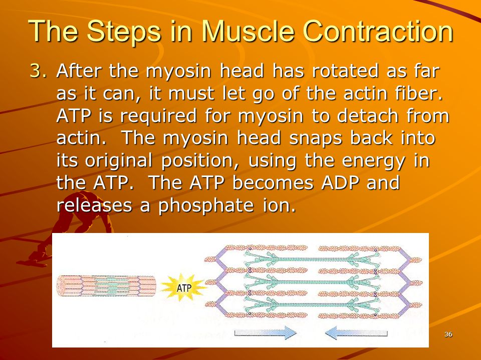 3.After the myosin head has rotated as far as it can, it must let go of the actin fiber. ATP is required for myosin to detach from actin. The myosin h