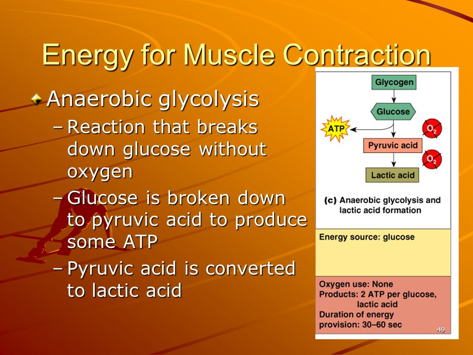 Energy for Muscle Contraction Anaerobic glycolysis –Reaction that breaks down glucose without oxygen –Glucose is broken down to pyruvic acid to produc