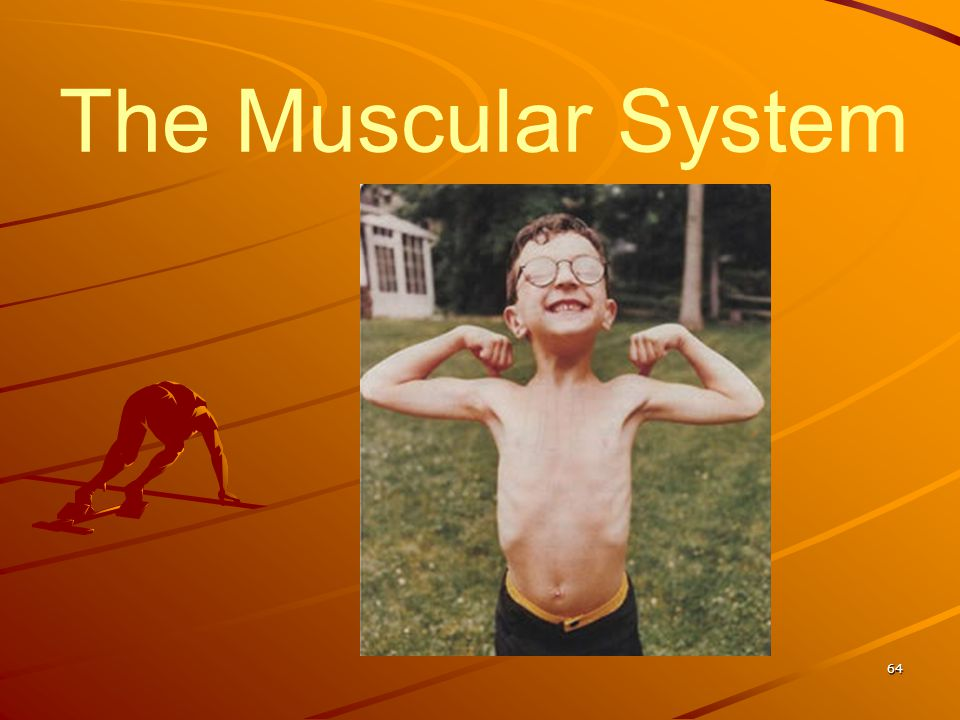 The Muscular System 64