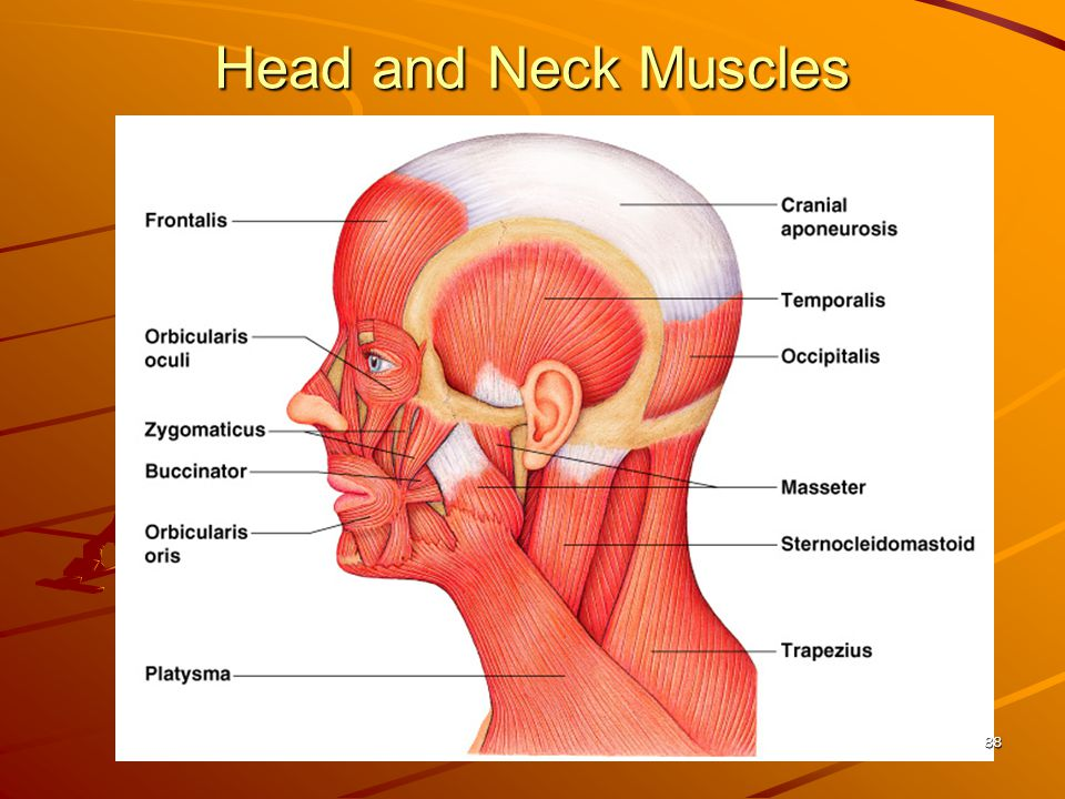 Head and Neck Muscles 88