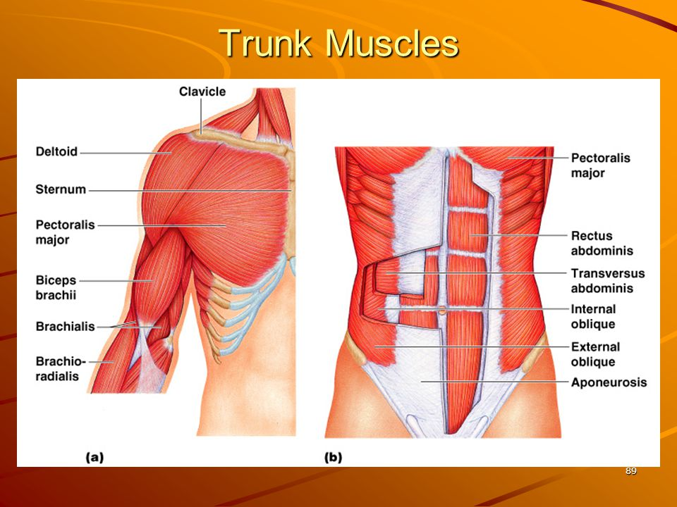 Trunk Muscles 89