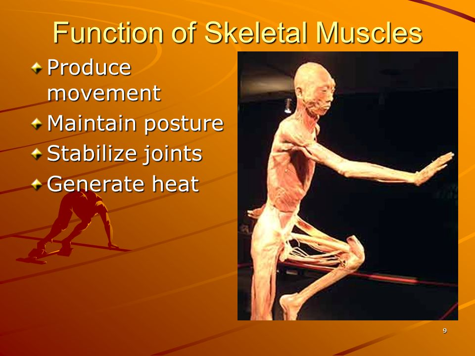 Function of Skeletal Muscles Produce movement Maintain posture Stabilize joints Generate heat 9