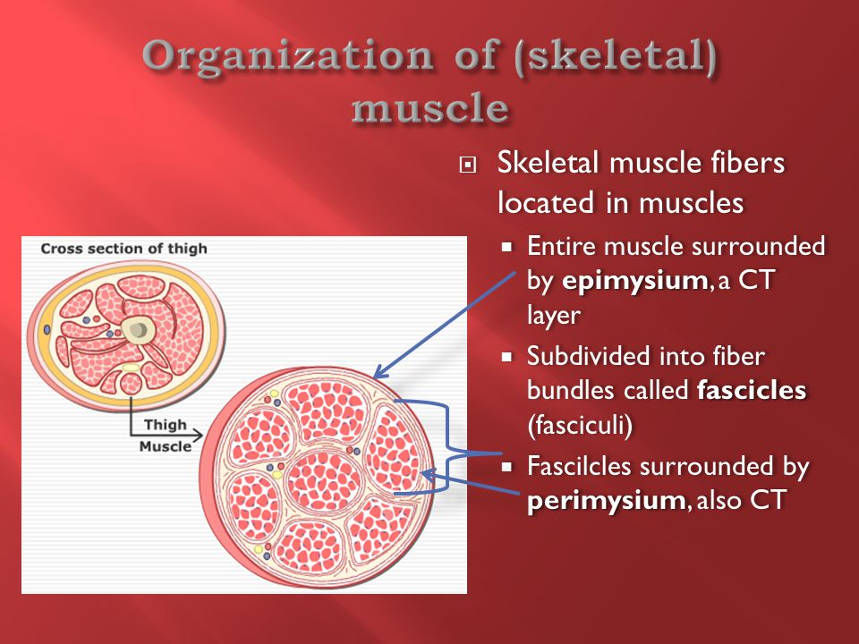  Skeletal muscle fibers located in muscles epimysium  Entire muscle surrounded by epimysium, a CT layer fascicles  Subdivided into fiber bundles called fascicles (fasciculi) perimysium  Fascilcles surrounded by perimysium, also CT  Skeletal muscle fibers located in muscles epimysium  Entire muscle surrounded by epimysium, a CT layer fascicles  Subdivided into fiber bundles called fascicles (fasciculi) perimysium  Fascilcles surrounded by perimysium, also CT