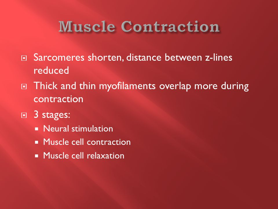  Sarcomeres shorten, distance between z-lines reduced  Thick and thin myofilaments overlap more during contraction  3 stages:  Neural stimulation  Muscle cell contraction  Muscle cell relaxation