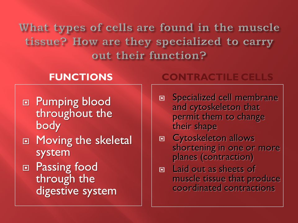 FUNCTIONSCONTRACTILE CELLS  Pumping blood throughout the body  Moving the skeletal system  Passing food through the digestive system  Specialized cell membrane and cytoskeleton that permit them to change their shape  Cytoskeleton allows shortening in one or more planes (contraction)  Laid out as sheets of muscle tissue that produce coordinated contractions