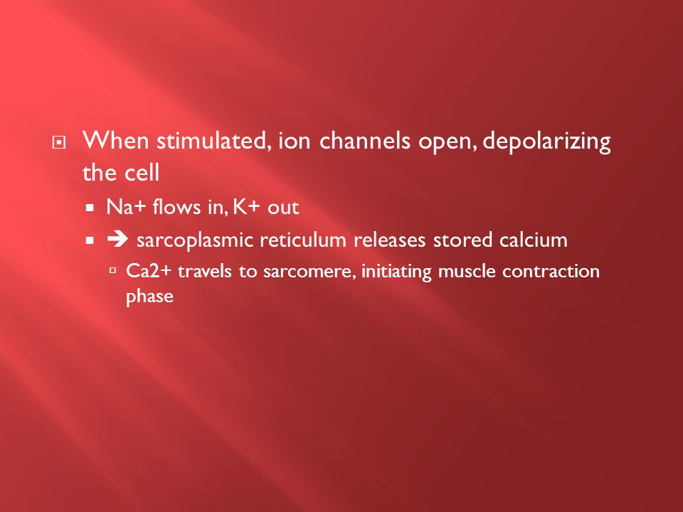  When stimulated, ion channels open, depolarizing the cell  Na+ flows in, K+ out   sarcoplasmic reticulum releases stored calcium  Ca2+ travels to sarcomere, initiating muscle contraction phase