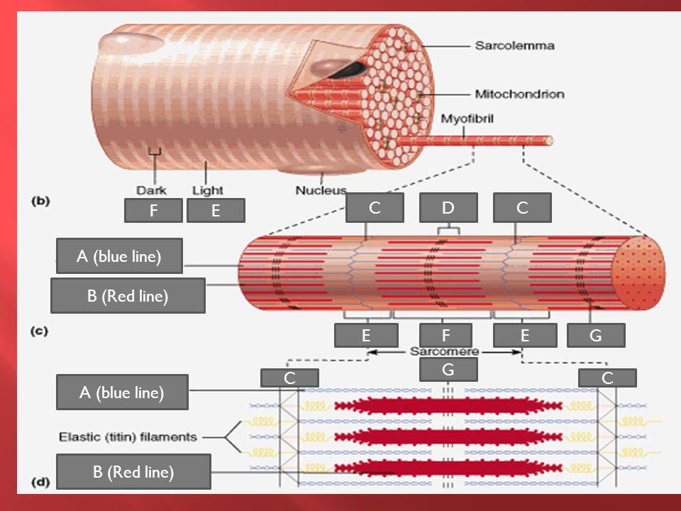 A (blue line) B (Red line) FE CCD E A (blue line) B (Red line) CC G G EF