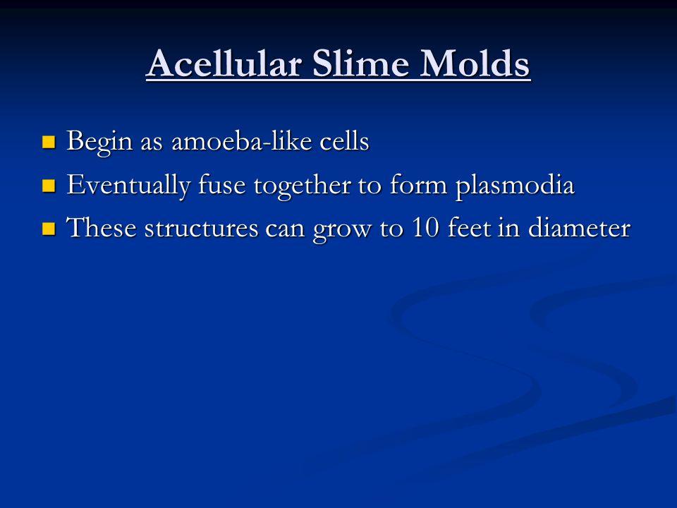 Acellular Slime Molds Begin as amoeba-like cells Begin as amoeba-like cells Eventually fuse together to form plasmodia Eventually fuse together to form plasmodia These structures can grow to 10 feet in diameter These structures can grow to 10 feet in diameter