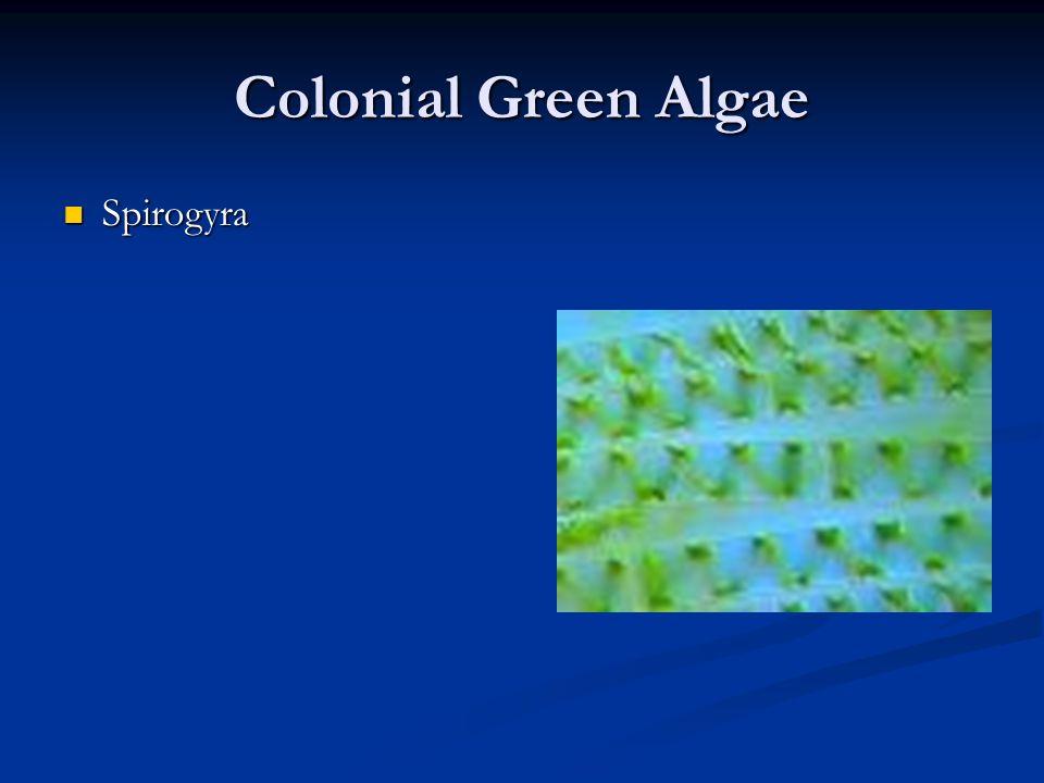 Colonial Green Algae Spirogyra Spirogyra