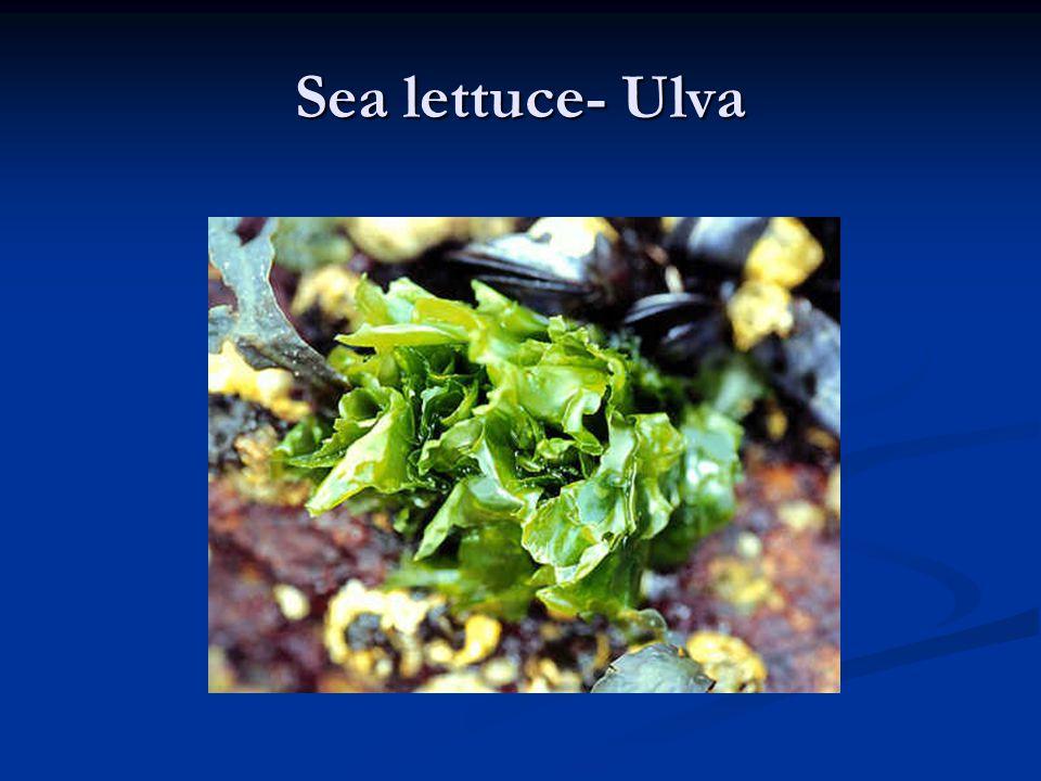 Sea lettuce- Ulva