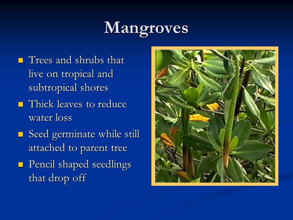 Mangroves Trees and shrubs that live on tropical and subtropical shores Trees and shrubs that live on tropical and subtropical shores Thick leaves to