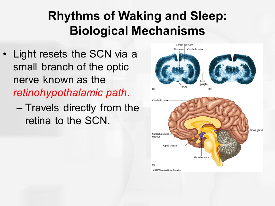 Rhythms of Waking and Sleep: Biological Mechanisms Light resets the SCN via a small branch of the optic nerve known as the retinohypothalamic path.