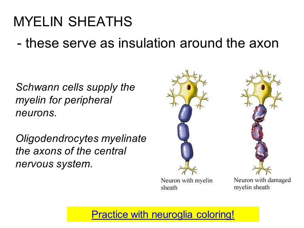 MYELIN SHEATHS - these serve as insulation around the axon Schwann cells supply the myelin for peripheral neurons. Oligodendrocytes myelinate the axon