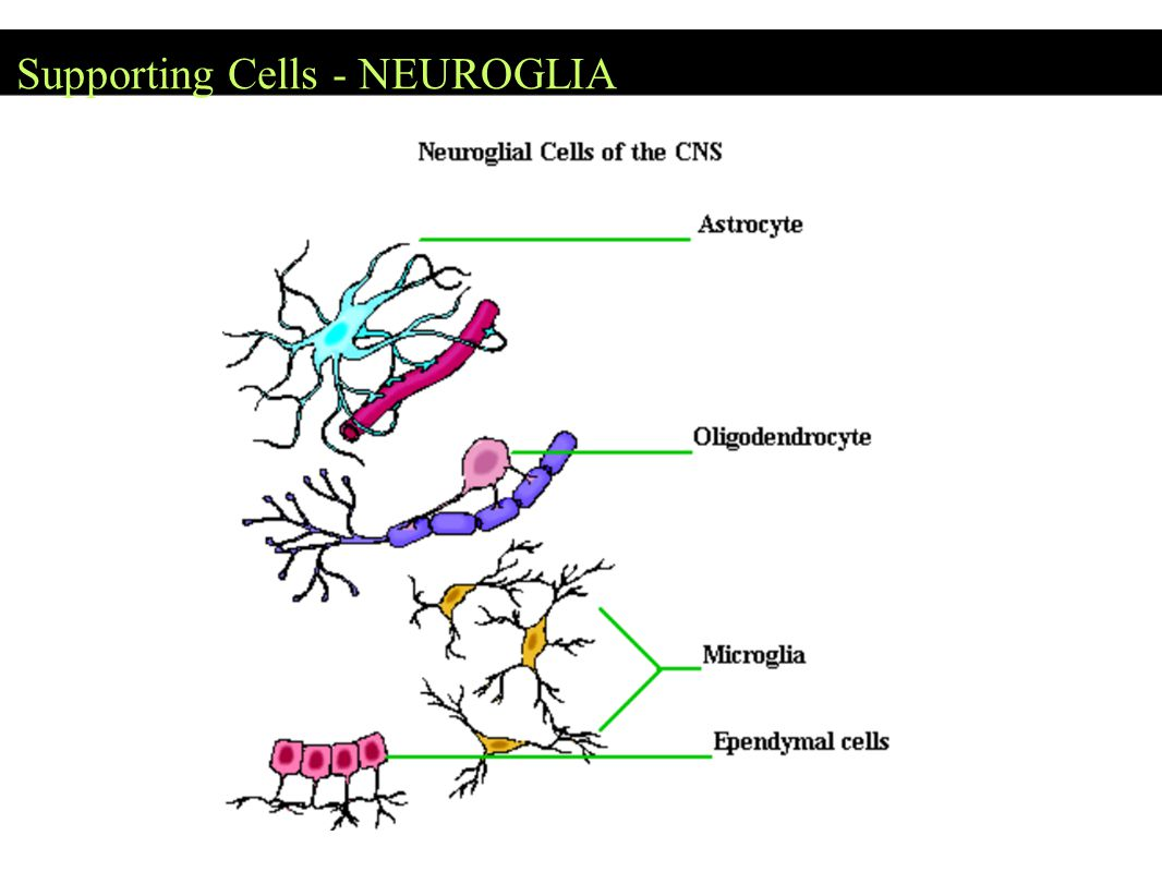 Supporting Cells - NEUROGLIA
