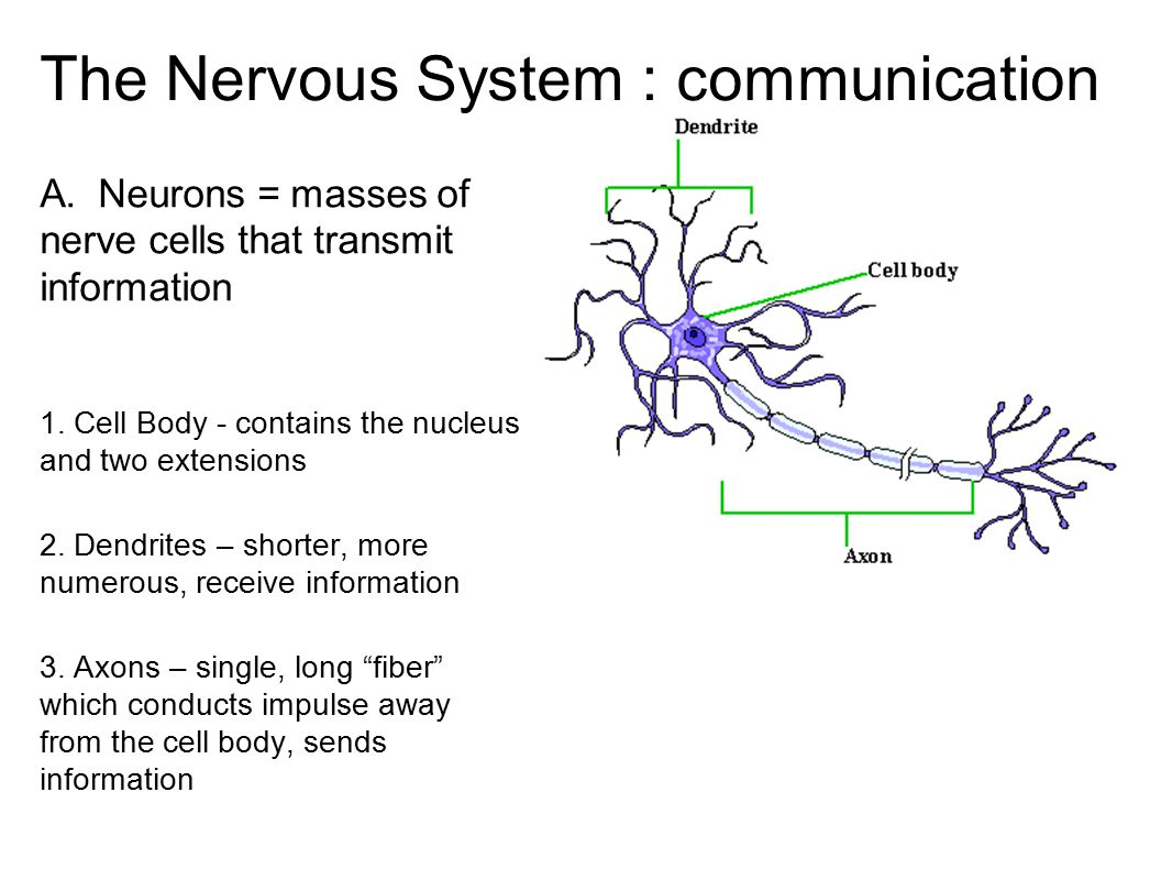 The Nervous System : communication A. Neurons = masses of nerve cells that transmit information 1. Cell Body - contains the nucleus and two extensions