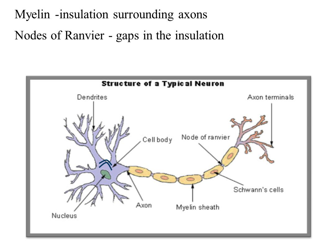 Myelin -insulation surrounding axons Nodes of Ranvier - gaps in the insulation