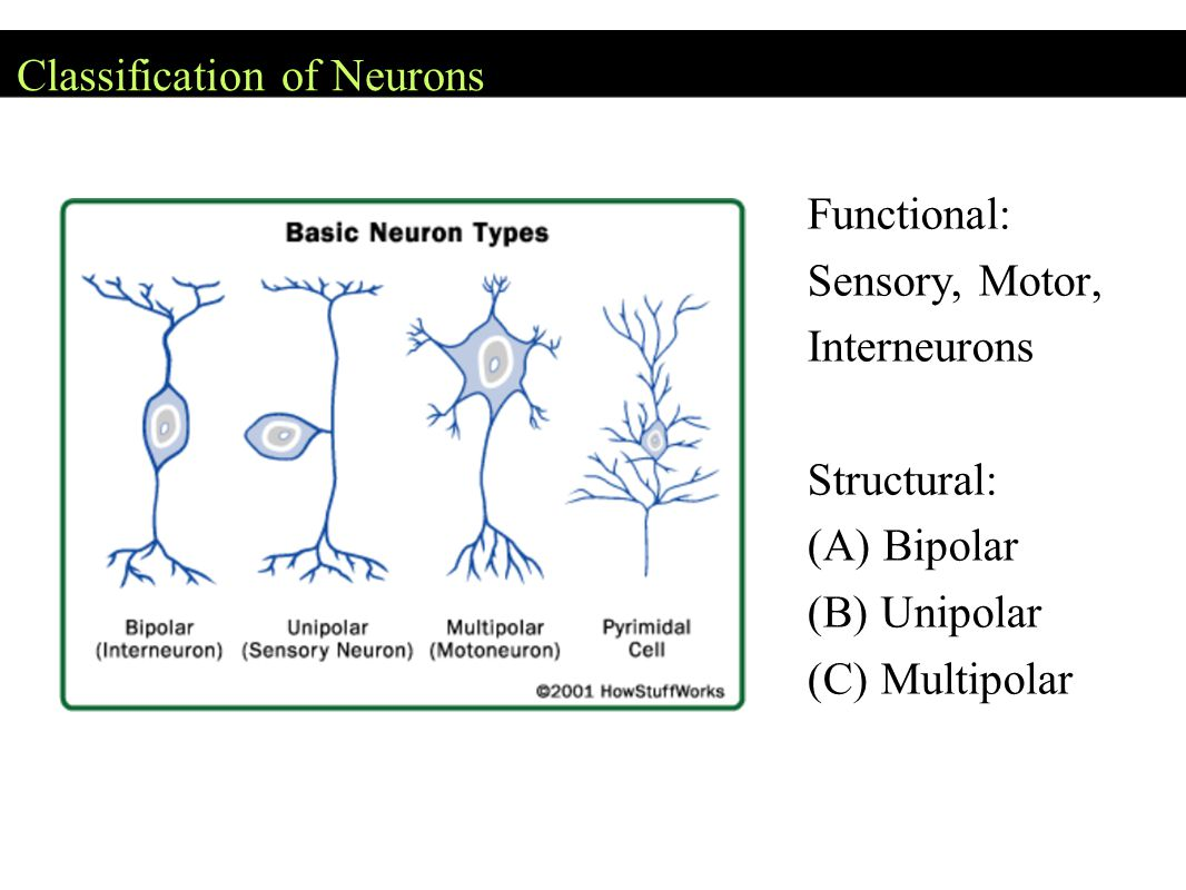 Classification of Neurons Functional: Sensory, Motor, Interneurons Structural: (A) Bipolar (B) Unipolar (C) Multipolar