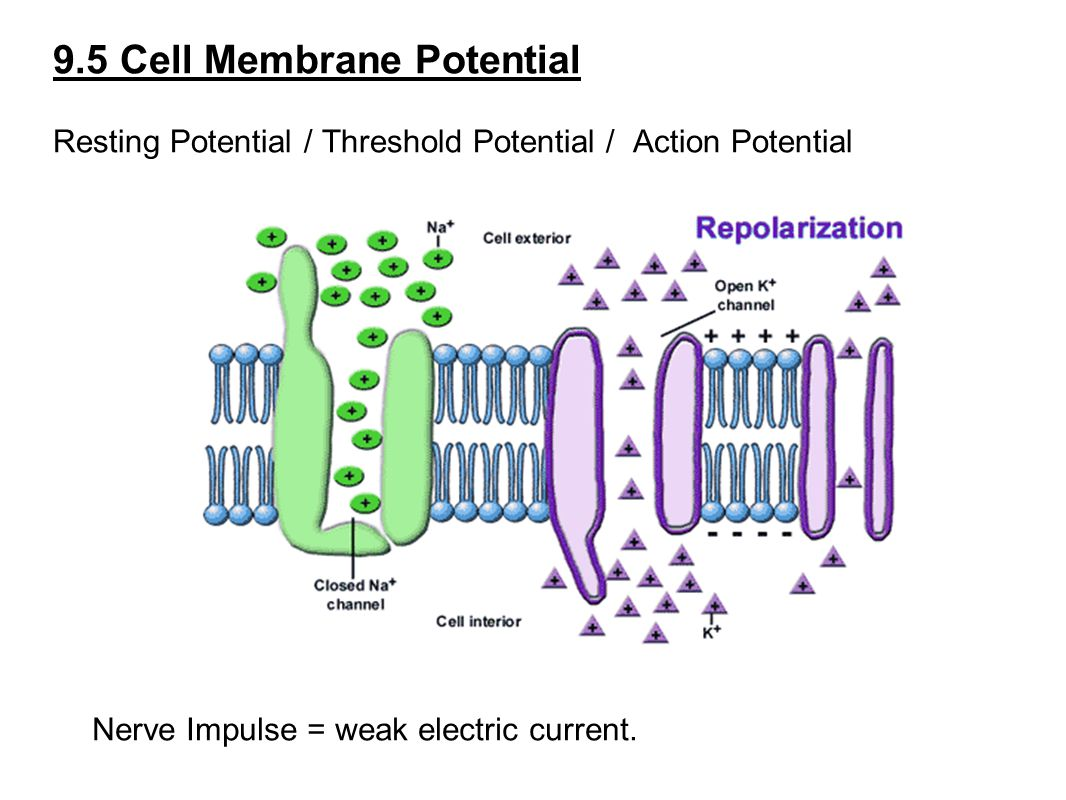 9.5 Cell Membrane Potential Resting Potential / Threshold Potential / Action Potential Nerve Impulse = weak electric current.