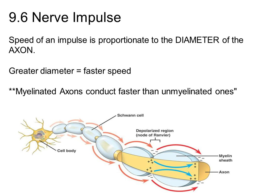 9.6 Nerve Impulse Speed of an impulse is proportionate to the DIAMETER of the AXON. Greater diameter = faster speed **Myelinated Axons conduct faster