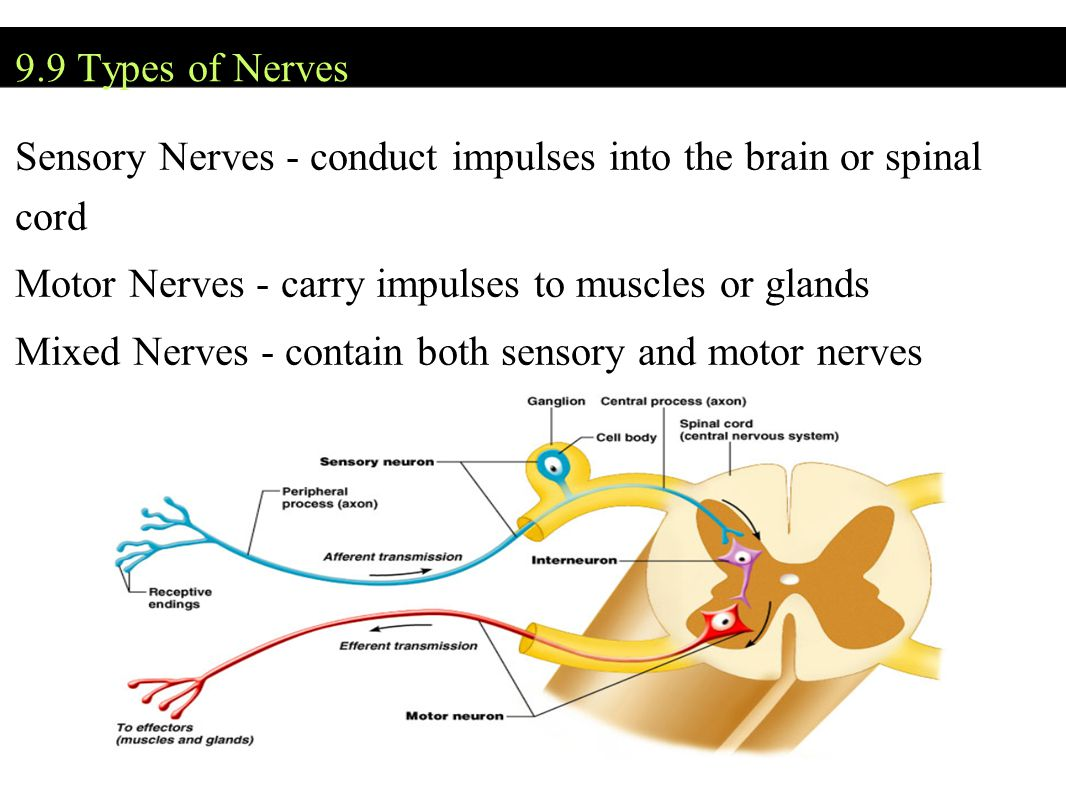 9.9 Types of Nerves Sensory Nerves - conduct impulses into the brain or spinal cord Motor Nerves - carry impulses to muscles or glands Mixed Nerves - contain both sensory and motor nerves