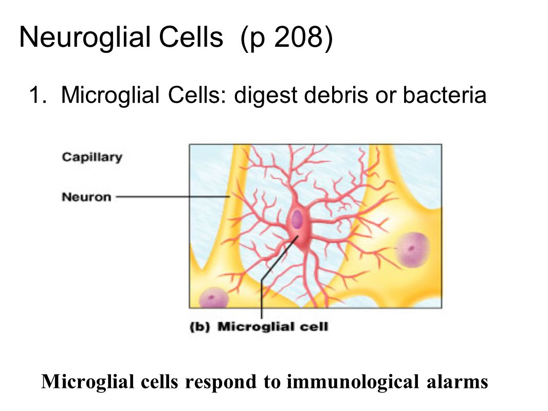 Neuroglial Cells (p 208) 1. Microglial Cells: digest debris or bacteria Microglial cells respond to immunological alarms