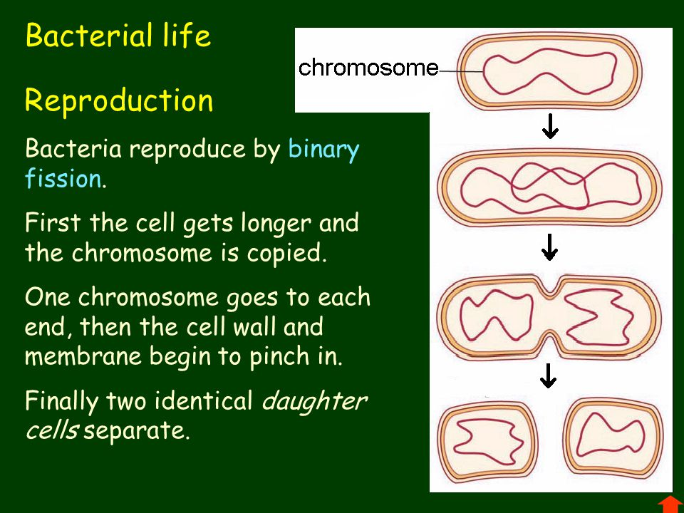 Bacterial life Reproduction Bacteria reproduce by binary fission. First the cell gets longer and the chromosome is copied. One chromosome goes to each
