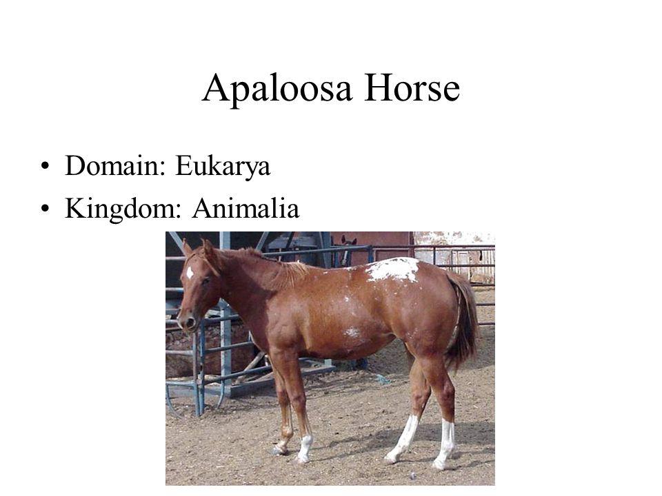 Apaloosa Horse Domain: Eukarya Kingdom: Animalia