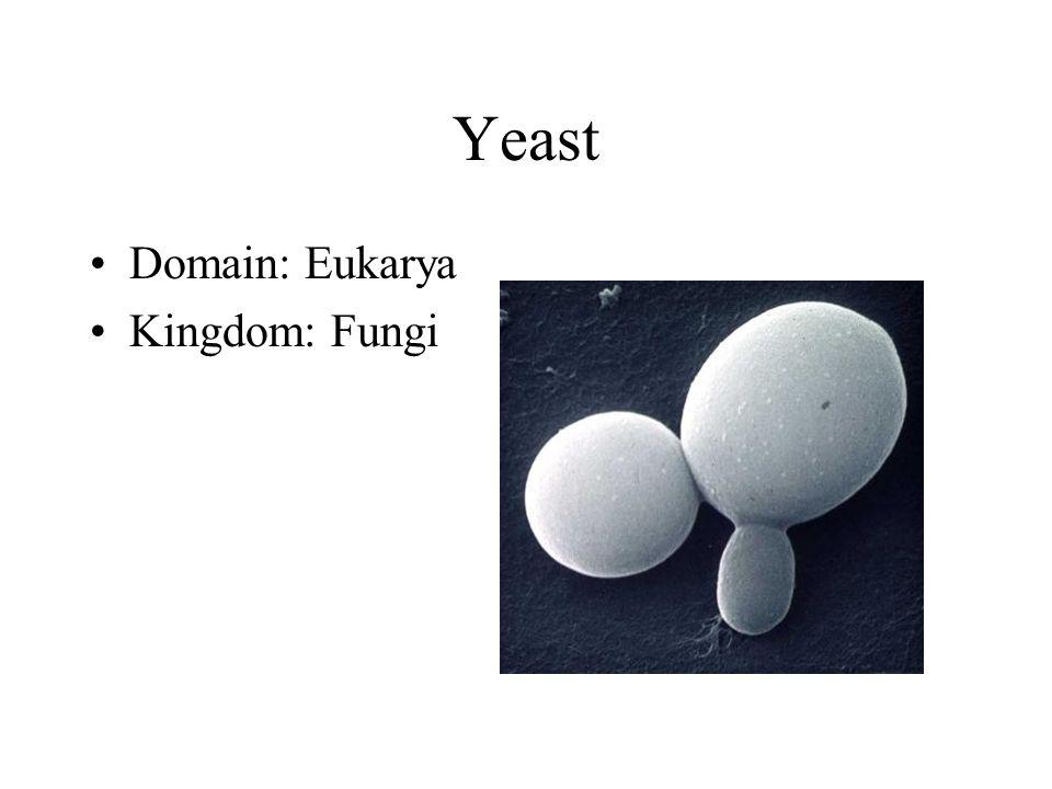 Yeast Domain: Eukarya Kingdom: Fungi