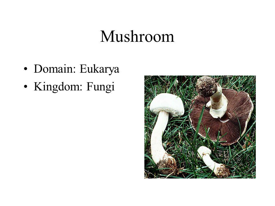Mushroom Domain: Eukarya Kingdom: Fungi