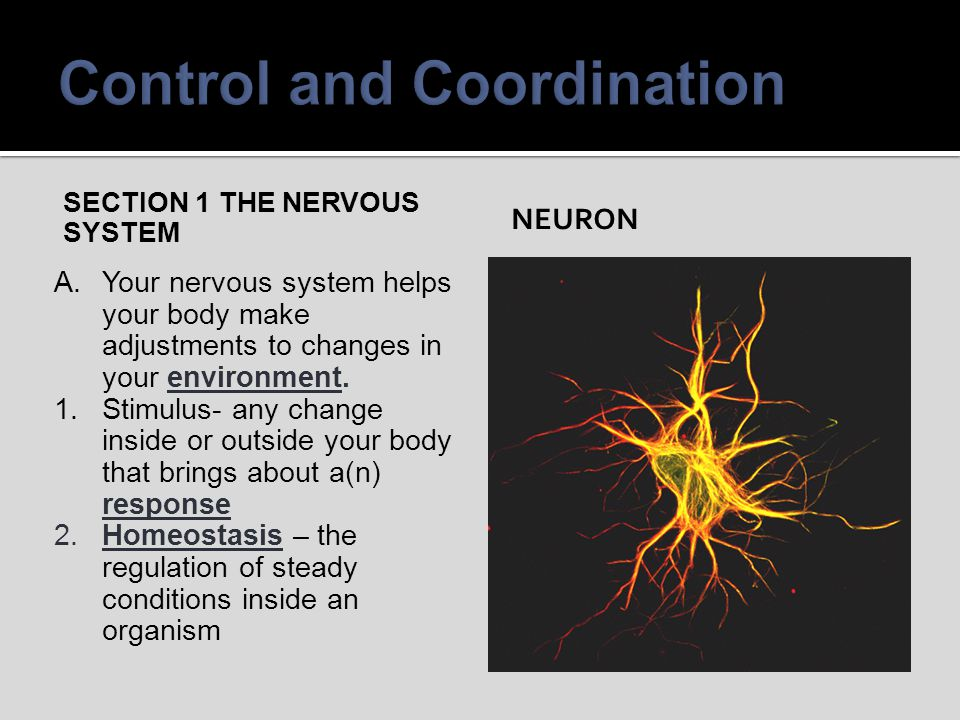 B.Neurons are made up of a cell body and branches called dendrites and axons.