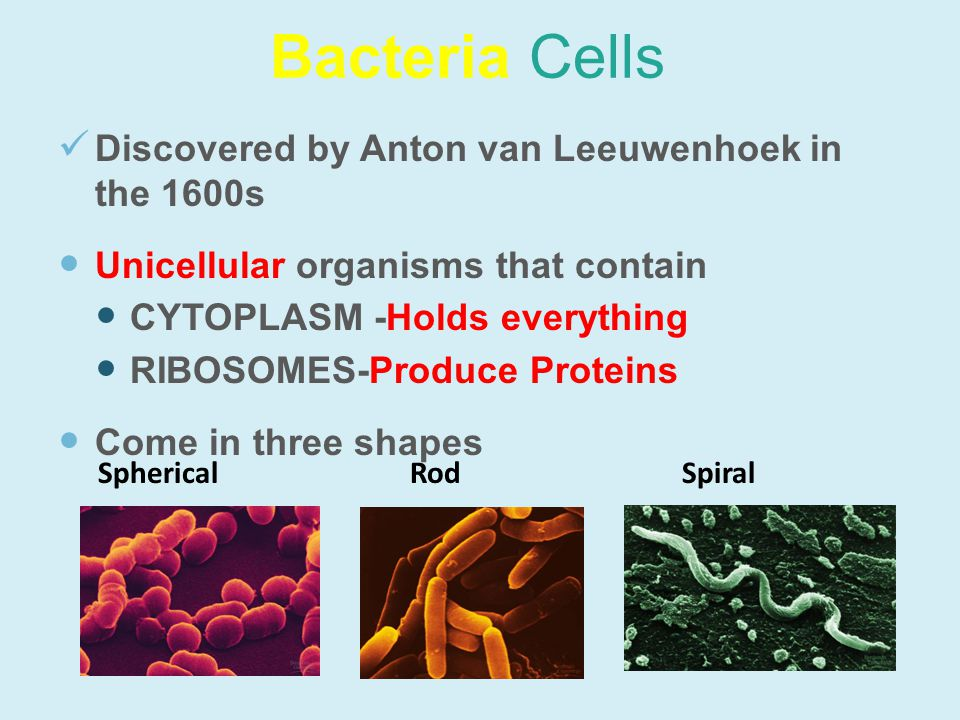 Bacteria Cells Discovered by Anton van Leeuwenhoek in the 1600s Unicellular organisms that contain CYTOPLASM -Holds everything RIBOSOMES-Produce Proteins Come in three shapes SphericalRodSpiral