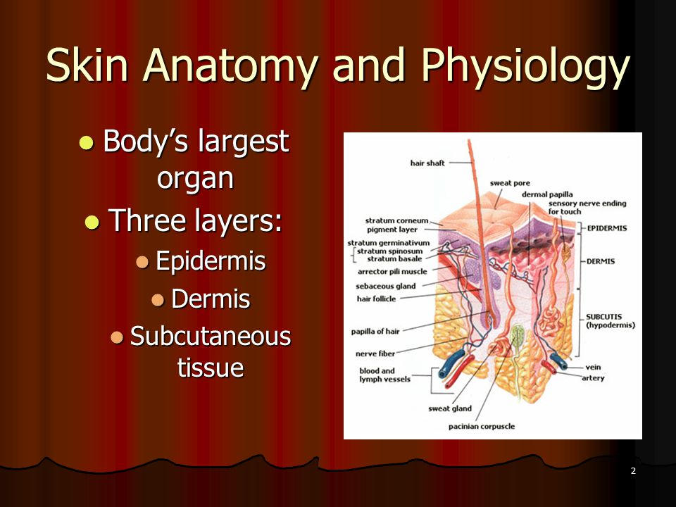 2 Skin Anatomy and Physiology Body's largest organ Body's largest organ Three layers: Three layers: Epidermis Epidermis Dermis Dermis Subcutaneous tissue Subcutaneous tissue
