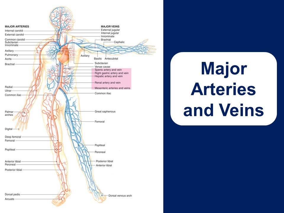 Major Arteries and Veins