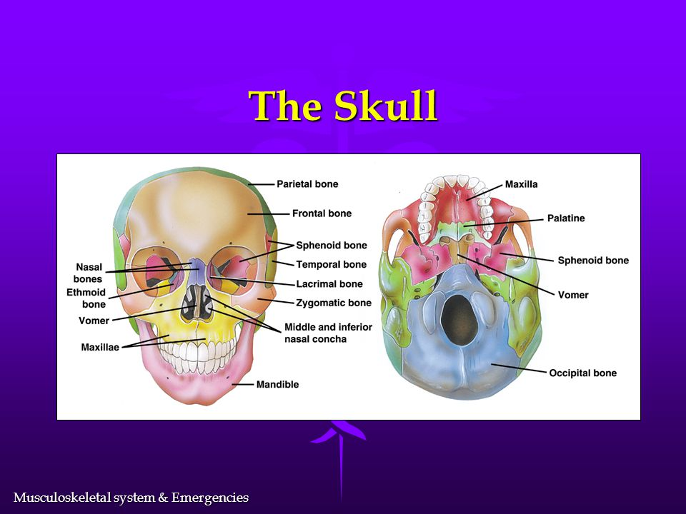 Musculoskeletal system & Emergencies The Skeletal System l Gives form to the body l Protects vital organs l Consists of 206 bones l Acts as a framewor