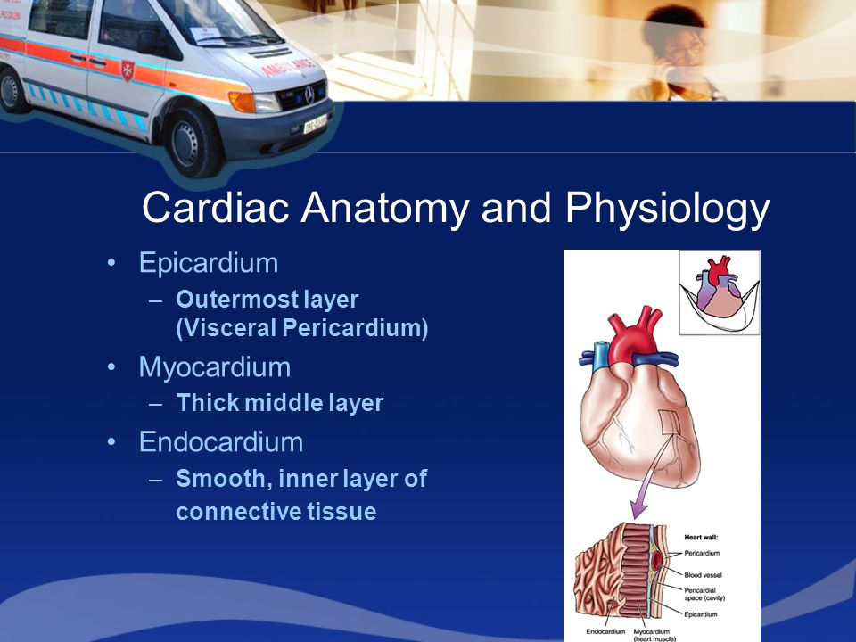 Cardiac Anatomy and Physiology Epicardium –Outermost layer (Visceral Pericardium) Myocardium –Thick middle layer Endocardium –Smooth, inner layer of connective tissue