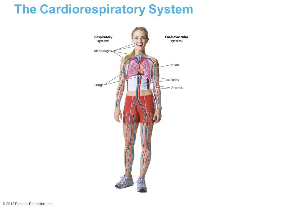 © 2013 Pearson Education, Inc. The Cardiorespiratory System