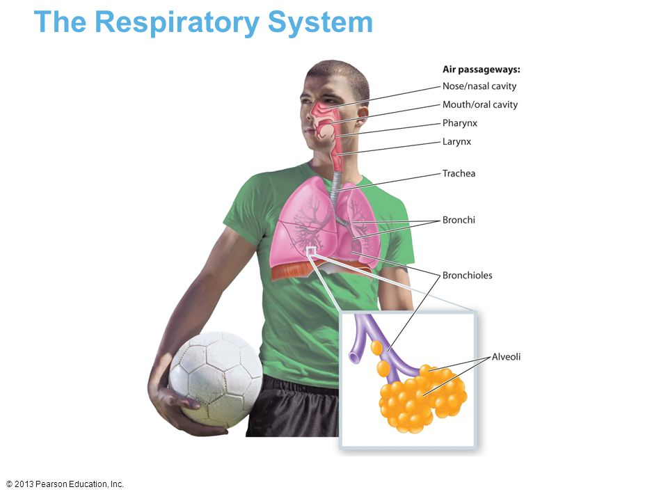 © 2013 Pearson Education, Inc. The Respiratory System
