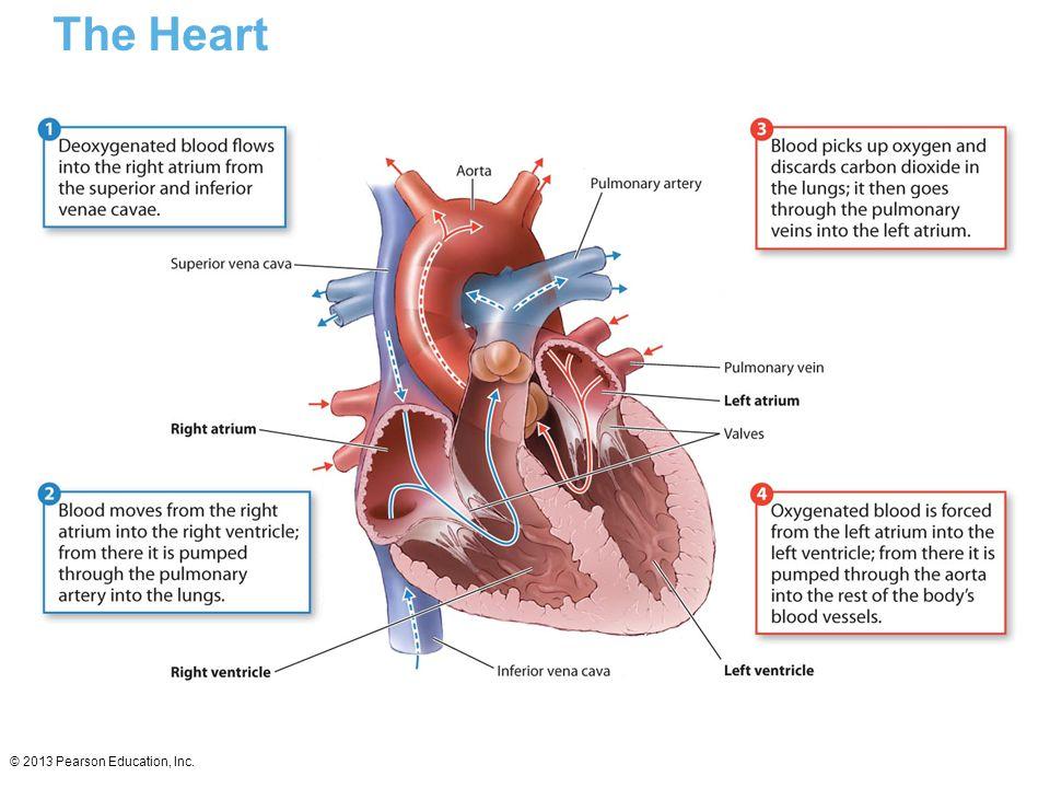 © 2013 Pearson Education, Inc. The Heart