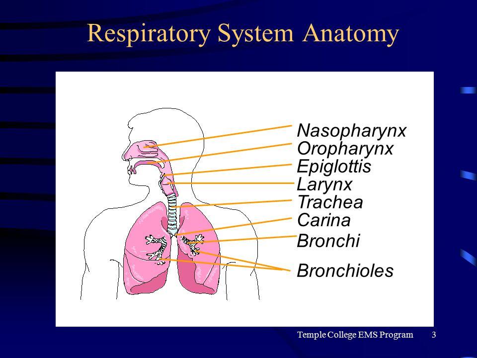Temple College EMS Program3 Respiratory System Anatomy Nasopharynx Oropharynx Epiglottis Larynx Trachea Bronchi Bronchioles Carina