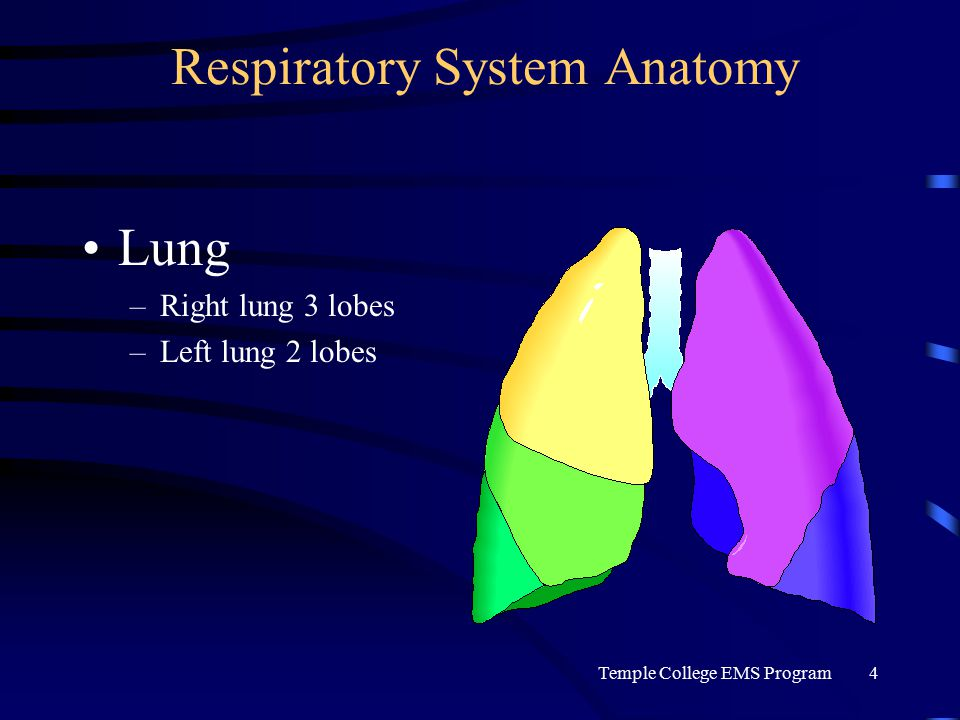Temple College EMS Program4 Respiratory System Anatomy Lung –Right lung 3 lobes –Left lung 2 lobes
