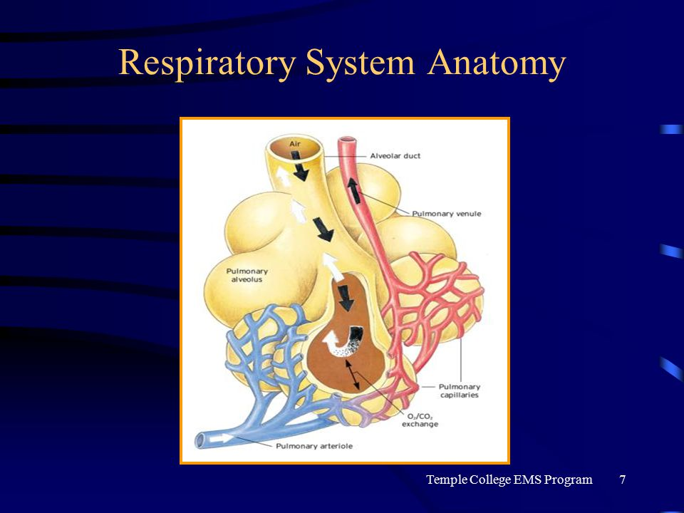 Temple College EMS Program7 Respiratory System Anatomy