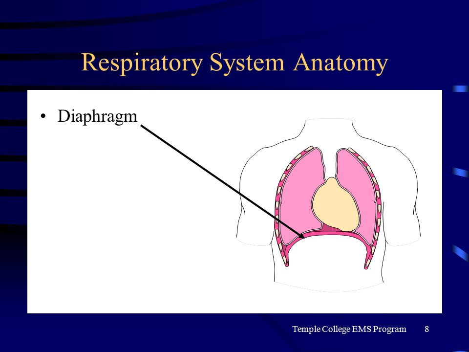 Temple College EMS Program8 Respiratory System Anatomy Diaphragm